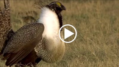Grouse Video Button